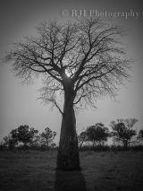 Baobab Tree monochrome