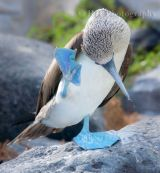 Blue Footed Booby 1  2010