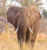 Bull Elephant Botswana 2012
