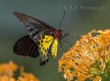 Helen's Birdwing