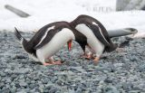 Courting Gentoo Penguins