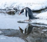 Gentoo Reflection
