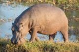 Hippo Zambezi River 2012