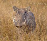 Warthog  Botswana 2012