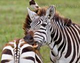 Zebras Ngorongoro Crater Tanazania 2010
