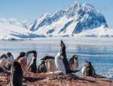 Adelie Penguins 4