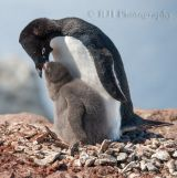 Adelie Penguins 2