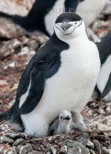 Chinstrap Penguin 3
