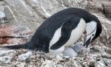 Chinstrap Penguins 4