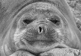"Juvenile Elephant Seal - ""Smiley"""