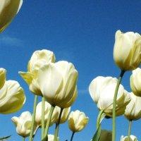 arley tulips