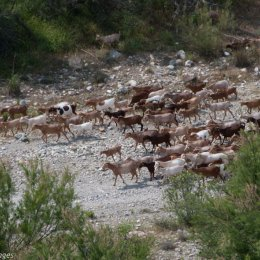 Goats on the Rambla