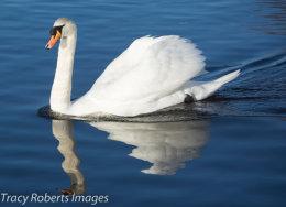 Ducks, Swans, Geese & Herons
