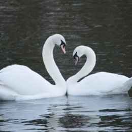 Courting swans