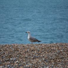 Seagull on patrol
