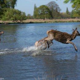 Deer in Bushy Park - West London